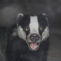 Badger Accident